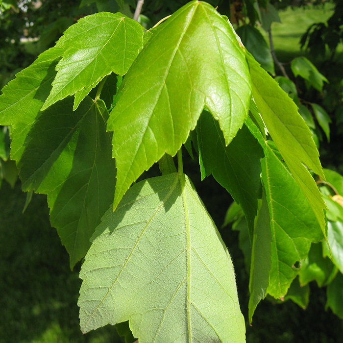 Maryland Native Plants: Maryland Trees Collection