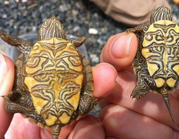 Two map shell turtles close up