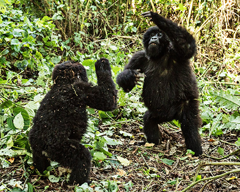 Gorillas playing in the jungle