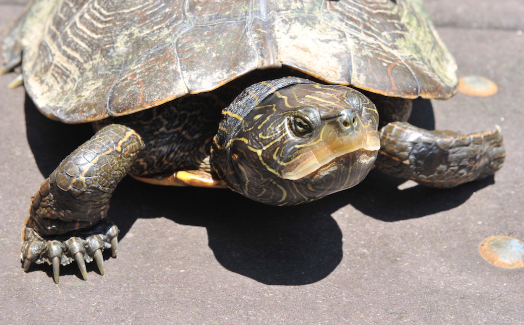 TU and Port Deposit are partnering to save the Northern Map Turtle.